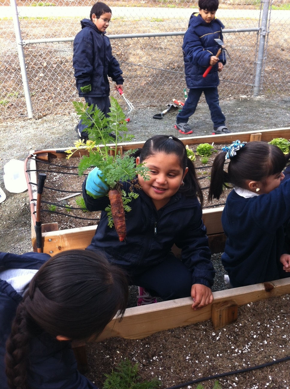 Harvesting Carrots at Willow Cove Elementary School (Pittsburg, CA)