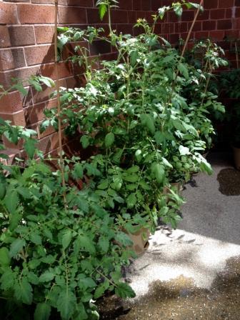 F2F tomato plants