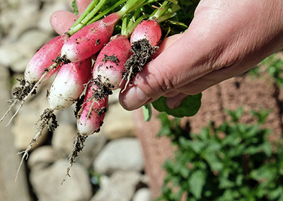 radishes cdfa farm to fork
